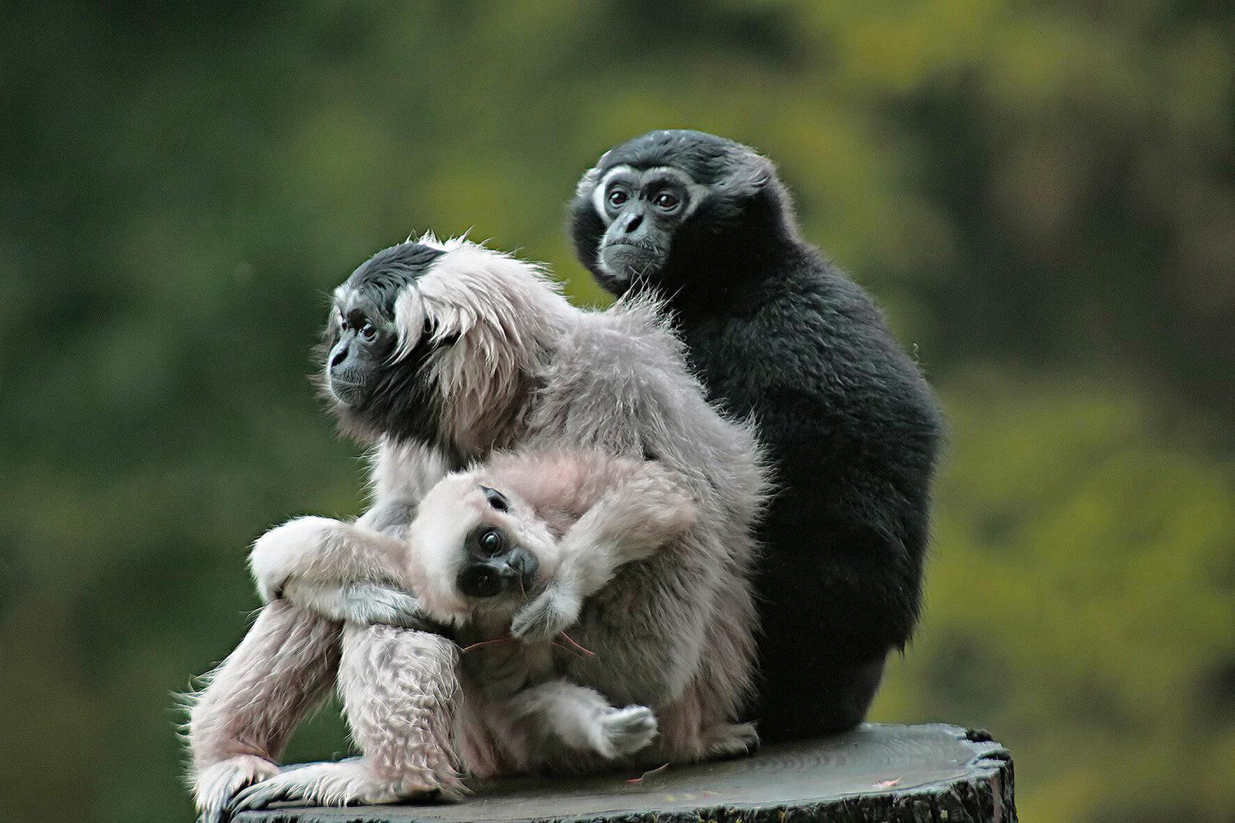 gibbon parc de branféré